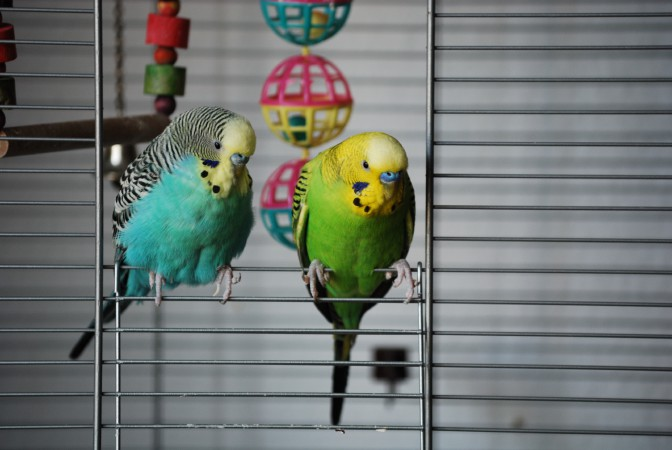 pet_budgerigars.jpg